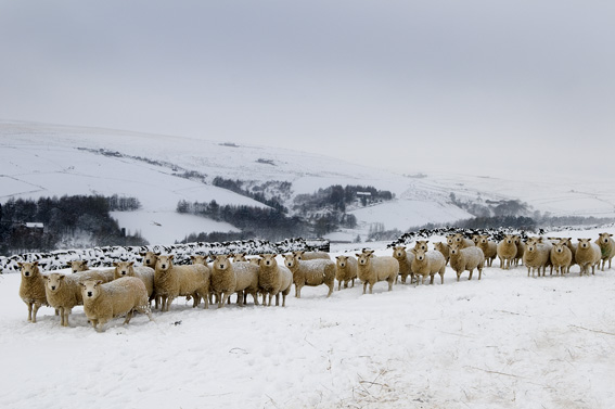 Sheep in the snow, Colden - Nigel Hillier