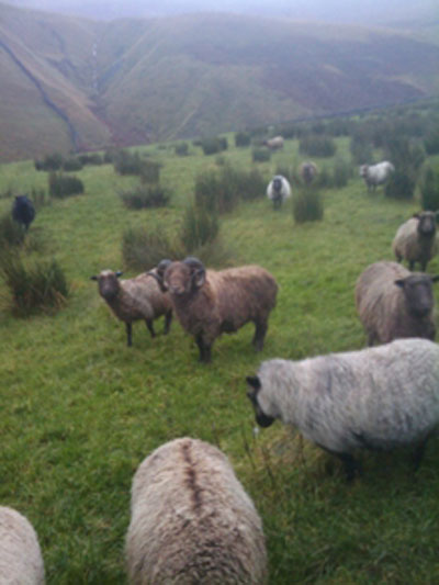 Jake feeling pleased with himself - 51 ewes to tup!