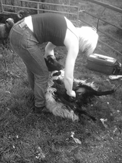 Beate shearing one of her girls