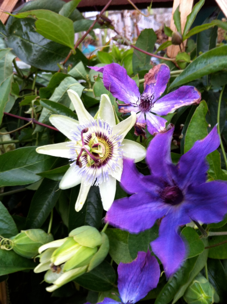 clematis and passiflora success at home