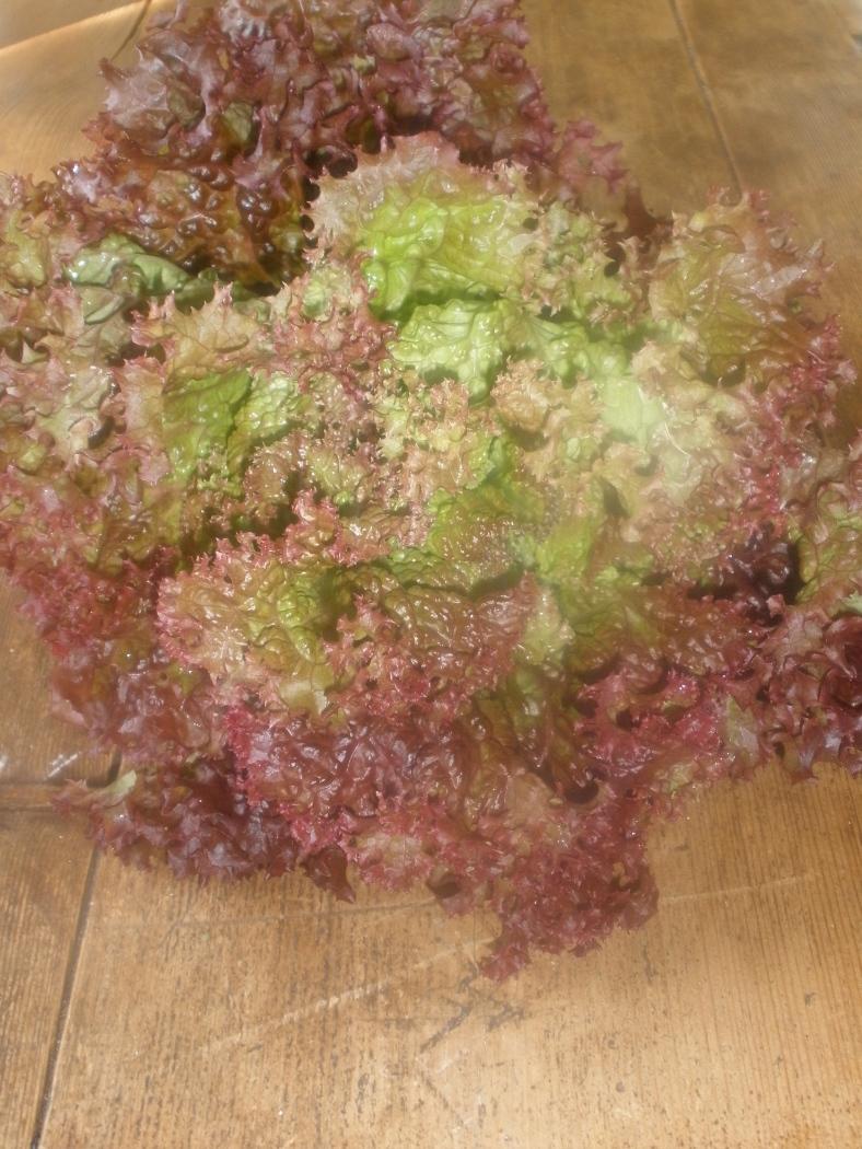 Bumper crop of lettuce 2010